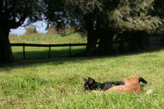 Katjes op het gebied Stock Foto's