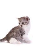 katjes spelen op een witte achtergrond Stock Afbeelding