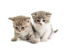 katjes spelen op een witte achtergrond Royalty-vrije Stock Fotografie