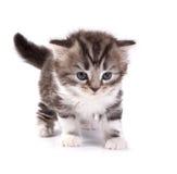 katjes spelen op een witte achtergrond Stock Fotografie