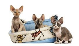 Katjesgroep in een mand van de huisdierenmand op wit wordt geïsoleerd dat Stock Fotografie