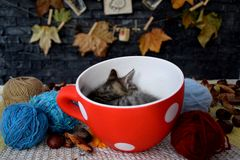 Katjesslaap in een kom door ballen van wol wordt omringd die royalty-vrije stock fotografie