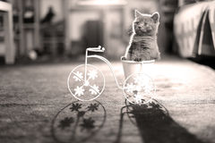 Katjeszitting in een pot van de fietsbloem Stock Afbeelding