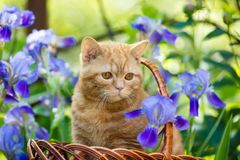 Katjeszitting in irisbloemen in de tuin royalty-vrije stock foto's