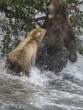 Katmai棕熊战斗;溪秋天;阿拉斯加;美国 图库摄影