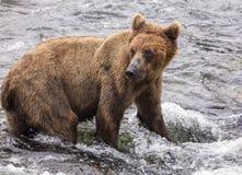 Katmai棕熊;溪秋天;阿拉斯加;美国 库存图片