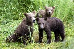 Katmai棕熊;溪秋天;阿拉斯加;美国 免版税库存照片