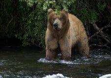 Katmai棕熊;溪秋天;阿拉斯加;美国 免版税库存图片