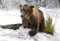 Katmai棕熊;溪秋天;阿拉斯加;美国 库存照片