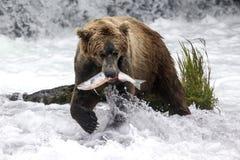 Katmai棕熊;溪秋天;阿拉斯加;美国 图库摄影