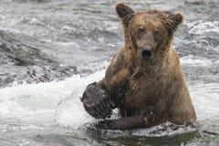 Katmai-Braunbären; Bach-Fälle; Alaska; USA Lizenzfreies Stockfoto