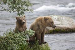Katmai-Braunbären; Bach-Fälle; Alaska; USA Lizenzfreie Stockbilder