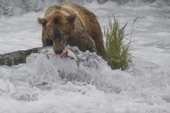 Katmai-Braunbären; Bach-Fälle; Alaska; USA Lizenzfreie Stockfotos