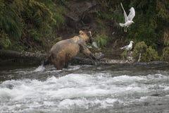 Katmai-Braunbären; Bach-Fälle; Alaska; USA Stockbild