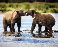 Katmai Brown Bears; Brooks Falls; Alaska; USA Royalty Free Stock Image