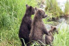 Katmai Brown Bears; Brooks Falls; Alaska; USA Stock Images