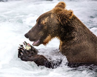 Katmai Brown Bears; Brooks Falls; Alaska; USA. Katmai Brown Bear gorge themselves on fresh salmon at Books Falls Alaska stock image