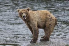 Katmai Brown Bears; Brooks Falls; Alaska; USA. Katmai Brown Bears fishing for salmon at Brooks Falls, Alaska, USA 2016 Royalty Free Stock Images