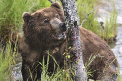 Katmai Brown Bears; Brooks Falls; Alaska; USA. Many pictures of Katmai Brown Bears fishing for salmon, Brooks Falls, Alaska, USA 2016.Carol_Gray , http://www Stock Images