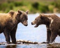 Katmai Brown Bears; Brooks Falls; Alaska; USA Stock Image