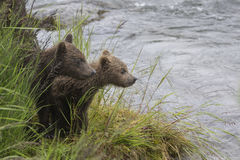 Katmai Brown Bears; Brooks Falls; Alaska; USA. Katmai Brown Bears spend many hours each day fishing for salmon at Brooks Falls, Alaska, USA 2016 Royalty Free Stock Photography