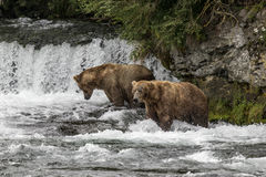 Katmai Brown Bears; Brooks Falls; Alaska; USA. Katmai Brown Bears spend many hours each day fishing for salmon at Brooks Falls, Alaska, USA 2016 stock photography