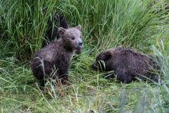 Katmai Brown Bears; Brooks Falls; Alaska; USA. Katmai Brown Bears spend many hours each day fishing for salmon at Brooks Falls, Alaska, USA 2016.Carol_Gray Royalty Free Stock Images