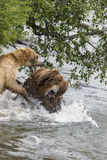Katmai Brown Bears; fighting; Brooks Falls; Alaska; USA Stock Image