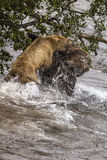 Katmai Brown Bears; fighting; Brooks Falls; Alaska; USA Stock Images