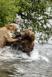 Katmai Brown Bears fighting; Brooks Falls; Alaska; USA Royalty Free Stock Photos