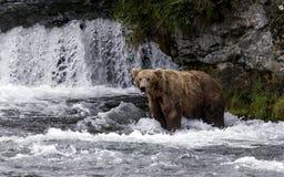 Katmai Brown niedźwiedzie; Strumyków spadki; Alaska; USA Obraz Royalty Free