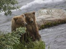 Katmai Brown niedźwiedzie; Strumyków spadki; Alaska; USA Zdjęcie Royalty Free