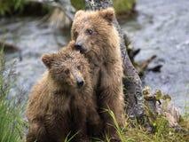 Katmai Brown niedźwiedzie; Strumyków spadki; Alaska; USA Fotografia Royalty Free