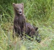 Katmai Bruine Beren; Bekendalingen; Alaska; De V.S. Stock Afbeelding