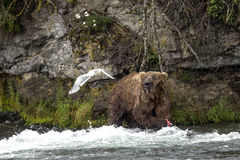 Katmai Bruine Beren; Bekendalingen; Alaska; De V.S. Royalty-vrije Stock Fotografie