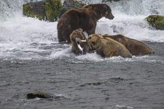 Katmai Bruine Beren; Bekendalingen; Alaska; De V.S. Stock Afbeeldingen