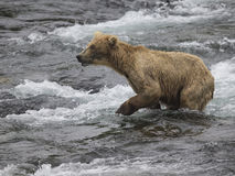Katmai Bruine Beren; Bekendalingen; Alaska; De V.S. Stock Foto's