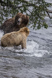 Katmai Bruine Beren; het vechten; Bekendalingen; Alaska; De V.S. Stock Afbeelding