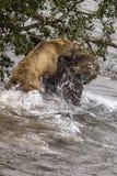 Katmai Bruine Beren; het vechten; Bekendalingen; Alaska; De V.S. Stock Afbeeldingen