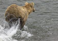 Katmai brunbjörnar; Bäcknedgångar; Alaska; USA Royaltyfri Bild