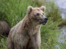 Katmai brunbjörnar; Bäcknedgångar; Alaska; USA Arkivfoton