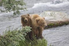 Katmai brunbjörnar; Bäcknedgångar; Alaska; USA Arkivfoto