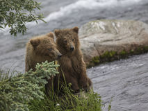 Katmai brunbjörnar; Bäcknedgångar; Alaska; USA Royaltyfri Foto
