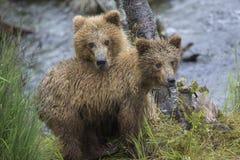 Katmai brunbjörnar; Bäcknedgångar; Alaska; USA Arkivbilder