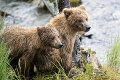 Katmai brunbjörnar; Bäcknedgångar; Alaska; USA Royaltyfri Fotografi