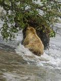 Katmai het Bruine Beren vechten; Bekendalingen; Alaska; De V.S. Stock Afbeeldingen