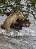 Katmai het Bruine Beren vechten; Bekendalingen; Alaska; De V.S. Royalty-vrije Stock Foto