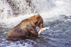 Katmai NP北美灰熊  库存图片