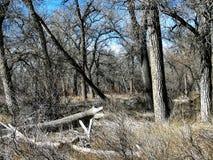 Katoen Houten Forest In Southern Colorado Royalty-vrije Stock Afbeeldingen
