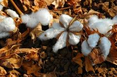 Katoenen bloemen Royalty-vrije Stock Foto